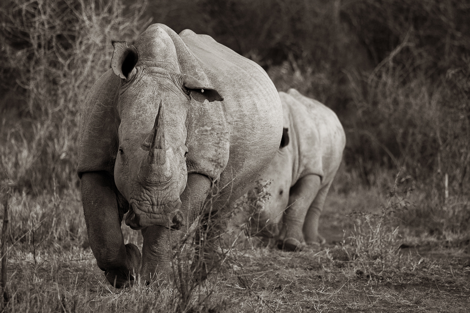 Madikwe, shelley burt, bush breaks, holidays, bushveld holidays, wildlife, rhino