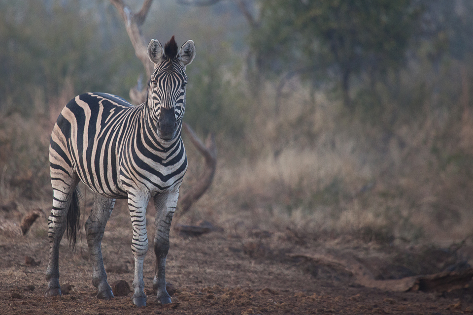 Madikwe, shelley burt, bush breaks, holidays, bushveld holidays, wildlife, zebra