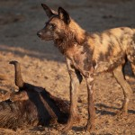 A photo taken at Madikwe of a wild dog