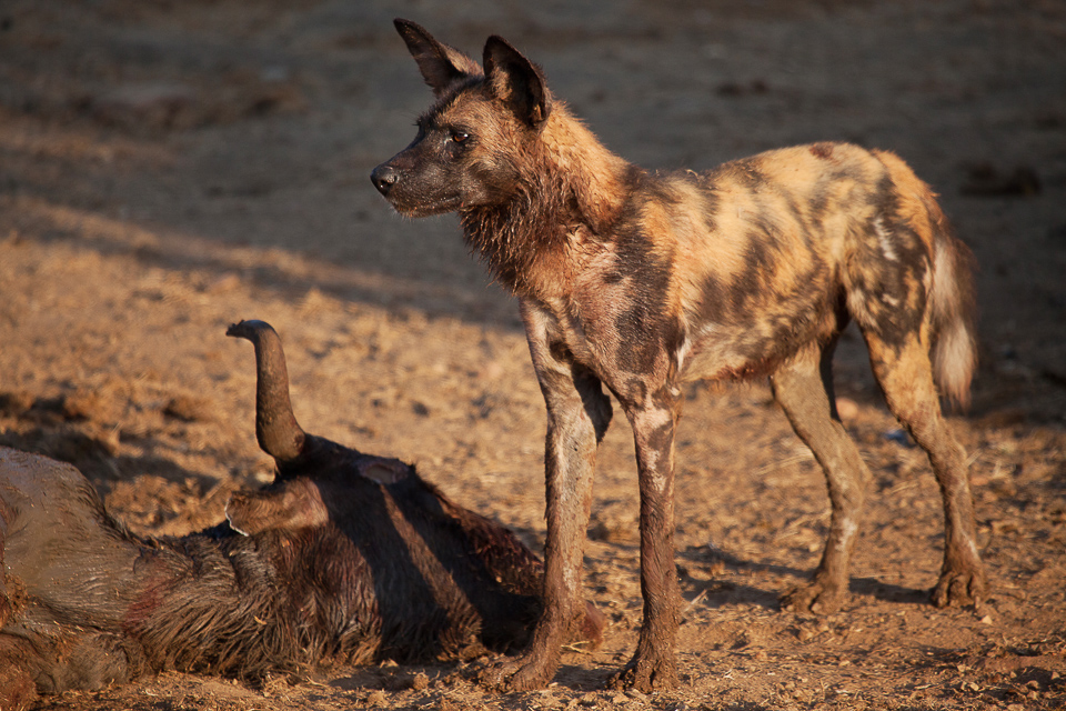Madikwe, shelley burt, bush breaks, holidays, bushveld holidays, wildlife, wild dogs