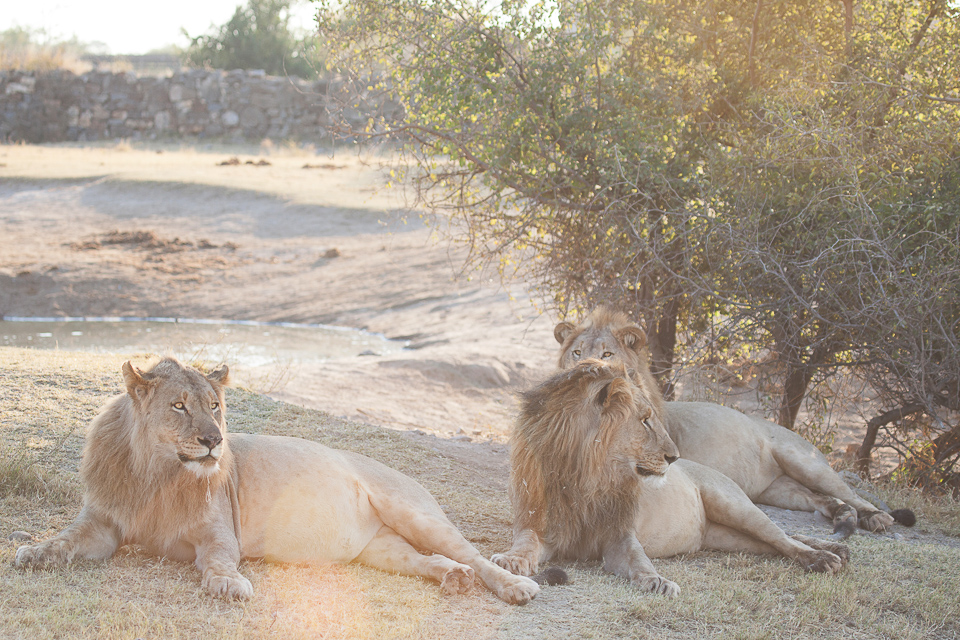Madikwe, shelley burt, bush breaks, holidays, bushveld holidays, wildlife, lions